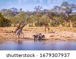Scenic Lake View With Giraffes...