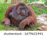 An Orangutan  Pongo Pygmaeus ...