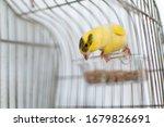 The Atlantic Canary Bird...