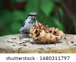 Nuthatch Sits On A Stump With ...
