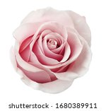 Beautiful Rose Flower Isolated...