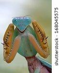 rhombodera show her graspers... | Shutterstock . vector #168045575