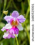 Small photo of Papilionanthe Miss Joaquim is a hybrid orchid cultivar that is Singapore's national flower. Hybrid parentage: Papilionanthe teres (Vanda teres) and Papilionanthe hookeriana (Vanda hookeriana).