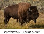 American Buffalo Bison In The...