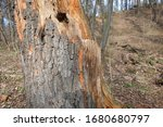 Old Rotten Wood Trunk In The...