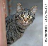 Tabby European Shorthair Cat...