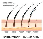 eyelash life cycle and growth... | Shutterstock .eps vector #1680856387