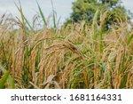 rice blast disease . rice... | Shutterstock . vector #1681164331