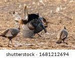 Wild Turkey. Wild Turkey Is...