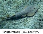 Halavi guitarfish (Glaucostegus halavi) swimming underwater in sea.