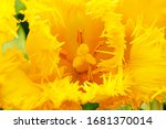 Yellow Terry Tulip Flower ...