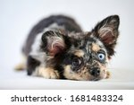 Chihuahua Puppy With Different...