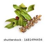 Tea Tree  Melaleuca Twig With...