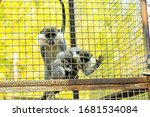 Monkey Family Sits In Cage Of...