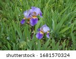 Flowers Of Three Bearded Irises ...