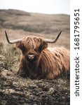 Scottish Highland Cow  Portrait ...