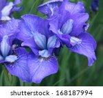 Beautiful Bright Irises