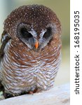 Small photo of African Wood Owl (Strix woodfordii)