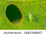 Aphid close up on a green leaf. ...