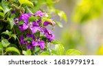 Beautiful Purple Clematis....