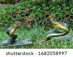 Two Gonyosoma Snake Ready To...