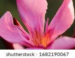 Tip Staminode And Petals Of...