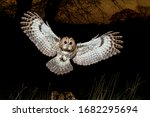 Tawny Owl Landing At Night Wit...