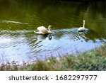 Two White Swans Swims In The...