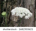 Queen Anne's Lace Against Tree...