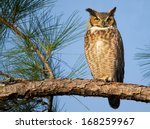 Great Horned Owl Basking In Sun