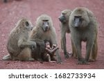 The Olive Baboon  Also Called...