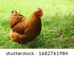 Sylvester Big Rooster In A...