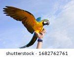 Macaw Bird Blue Gold Flying On...
