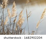 Blooming Reed Inflorescences On ...