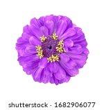 surreal violet zinnia flower...   Shutterstock . vector #1682906077