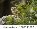 Interested Little Owl  Athene...