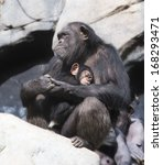 Mother Chimpanzee And Her Baby...