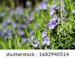 Blooming Rosemary Flowers In...