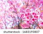 Pink Cherry Tree Blossom...
