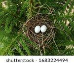 Two Eggs Of Zebra Dove Or...