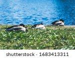 Three Ducks Sitting In A Row On ...