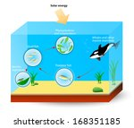marine food web. diagram shows the relationships among organisms living in ocean. producers and consumers: tuna, killer whale, shrimps and plankton. - stock vector