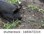 A Black Hairy Pig Sat Resting...