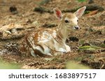 Baby Deer Resting On The Ground.