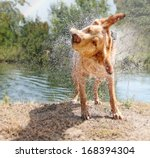 Stock photo a lab mix shaking off water after swimming in a local river 168394304