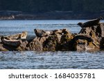 Group Of Harbor Seals Sitting...