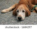 older golden retriever - stock photo