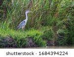 Beautiful grey heron fishing on a lake - wildlife in its natural habitat. Wildlife concept