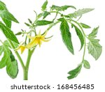 Tomato Flowers And Leaf On...