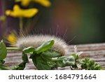White Hairy Moth Caterpillar....